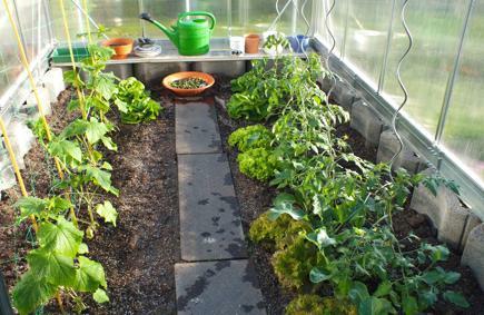 Jak pěstovat rajčata ve skleníku