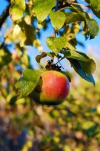 jablecny strom