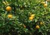citronecnik