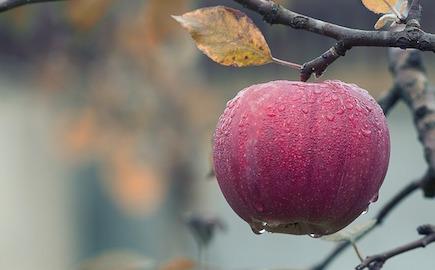 jablko_zahrada_podzim